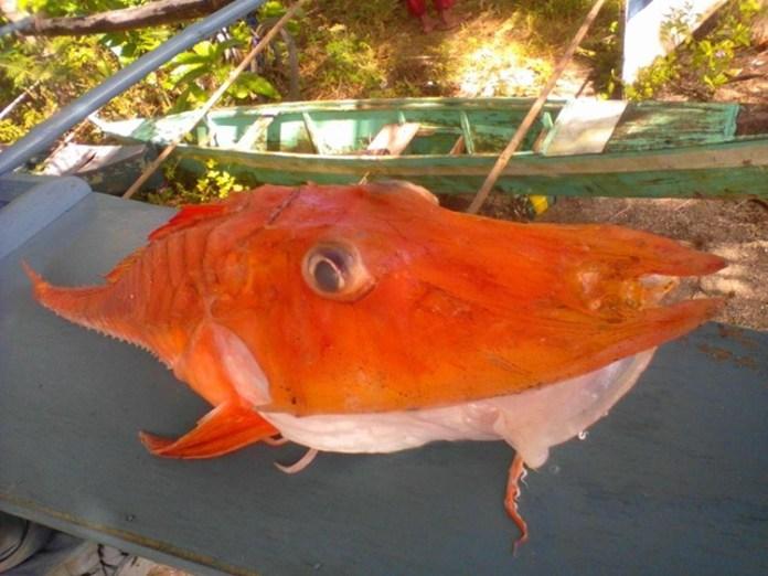 """Philippines: Bắt được cá biển """"bọc thép"""" cực kỳ quý hiếm - 2"""