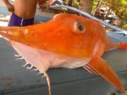 """Thế giới - Philippines: Bắt được cá biển """"bọc thép"""" cực kỳ quý hiếm"""