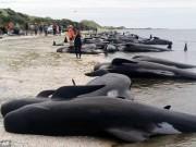 Thế giới - Sau một đêm, 400 cá voi mắc cạn bí ẩn ở New Zealand