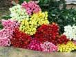 Hoa hồng đỏ Đà Lạt giá tăng vọt trước ngày Valentine