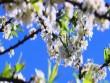 Nô nức về Chiềng Cọ ngắm hoa mận bung nở trắng trời