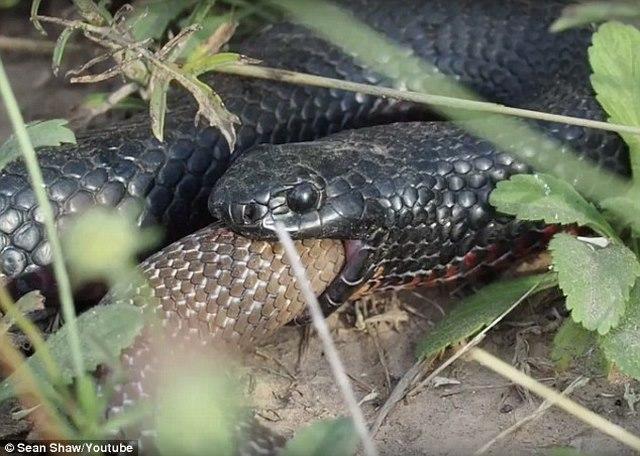 Cuộc chiến kì lạ của rắn cực độc bị rắn lớn hơn ăn thịt - 3
