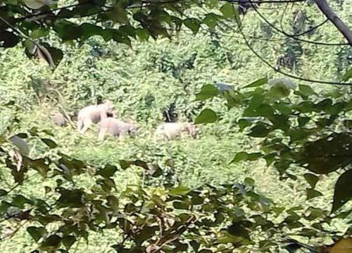 Kỳ lạ voi rừng kéo về nơi chuẩn bị lập khu bảo tồn voi - 1