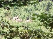 Tin tức trong ngày - Kỳ lạ voi rừng kéo về nơi chuẩn bị lập khu bảo tồn voi