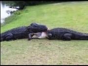 Thể thao - Golf 24/7: Cá sấu quyết chiến giành bạn tình trên sân