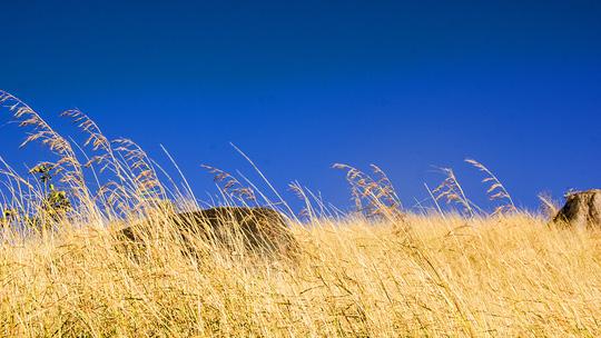 Đồi cỏ đuôi chồn óng vàng, đẹp như tranh ở Gia Lai - 4