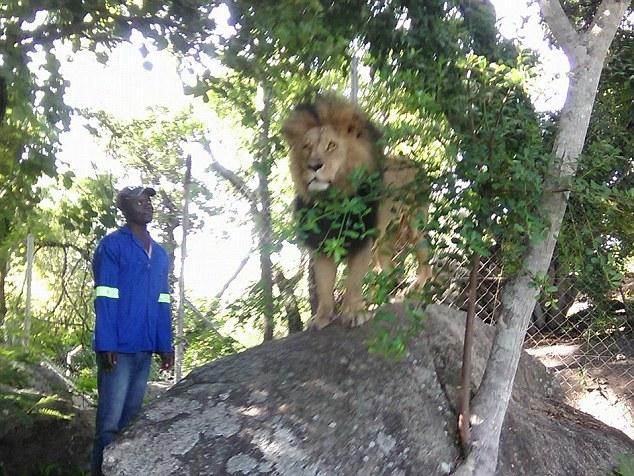 Sư tử châu Phi lao ra từ bụi rậm, vồ người đang chụp ảnh - 2