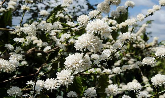 Đẹp ngỡ ngàng mùa hoa cà phê ở Tây Nguyên - 4