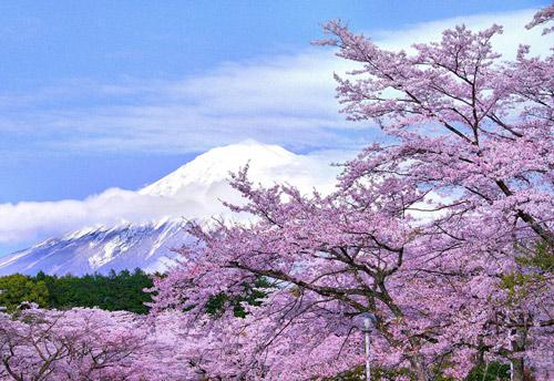 Nô nức mùa Lễ hội hoa anh đào Nhật Bản - 2