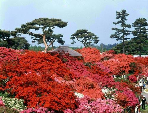 Tobu Railway đưa du khách đến với rừng hoa Đỗ Quyên hơn 800 tuổi - 2