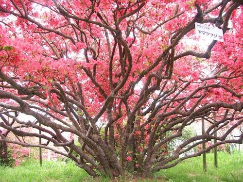 Tobu Railway đưa du khách đến với rừng hoa Đỗ Quyên hơn 800 tuổi - 3