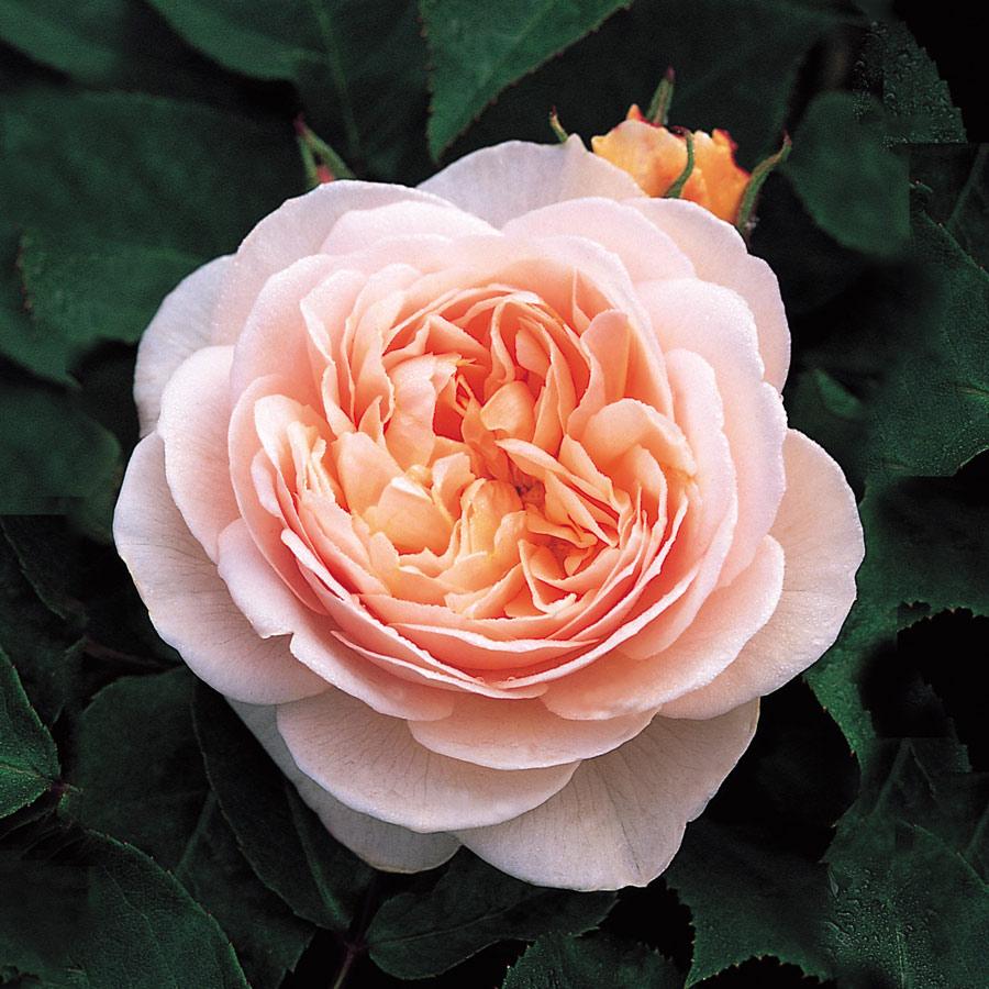 Choáng với 8 loài hoa đắt đỏ nhất hành tinh - 3