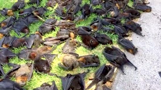 2.000 cáo bay rơi từ trên trời xuống đất ở Úc - 2