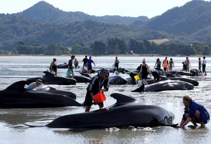 New Zealand đối phó 400 xác cá voi sắp phát nổ - 3