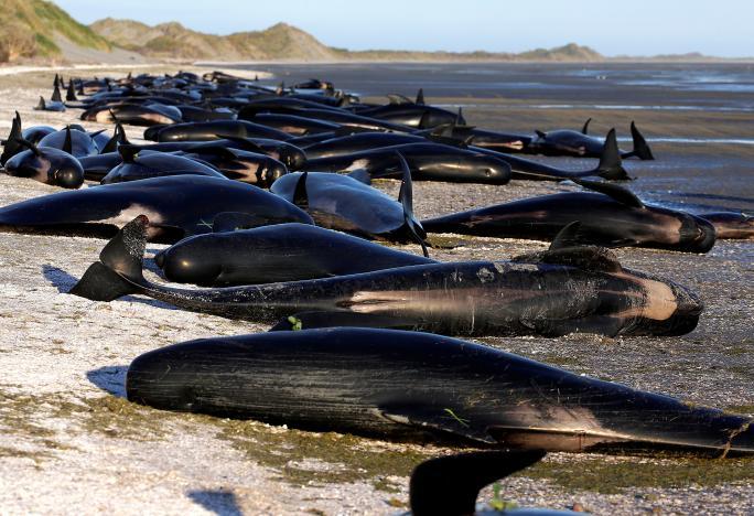 New Zealand đối phó 400 xác cá voi sắp phát nổ - 1