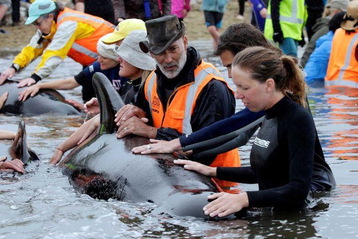 New Zealand đối phó 400 xác cá voi sắp phát nổ - 2