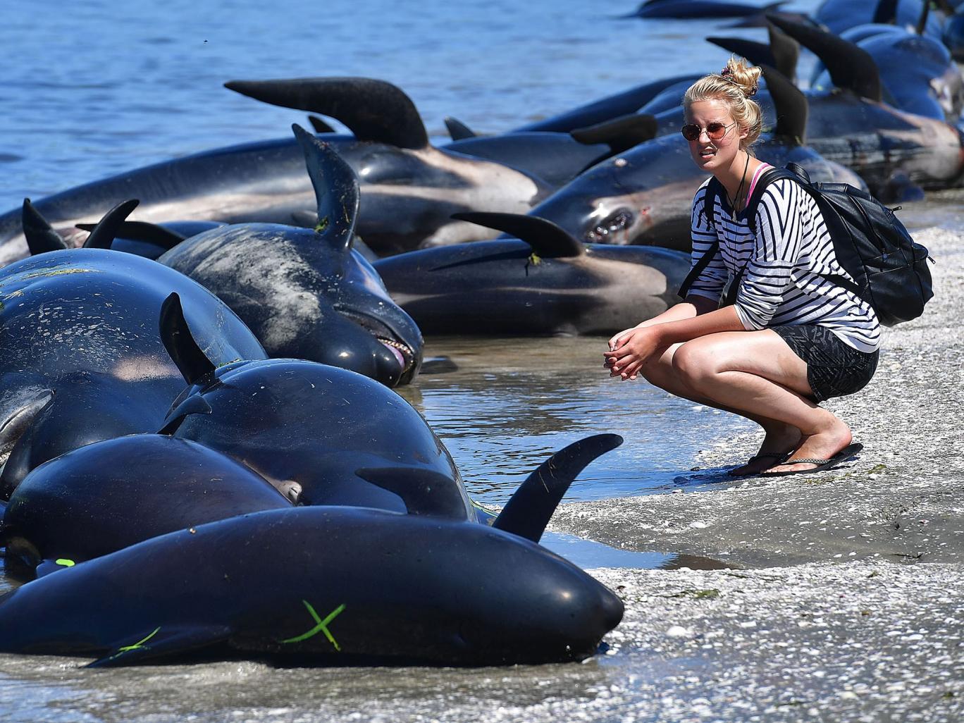 New Zealand đối phó 400 xác cá voi sắp phát nổ - 4