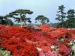 Tobu Railway đưa du khách đến với rừng hoa Đỗ Quyên hơn 800 tuổi