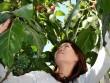 Cà chua siêu đắt 1 triệu đồng/kg trồng được ở Lâm Đồng