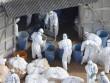 TQ đối mặt dịch cúm gia cầm lớn nhất 100 năm qua