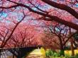Ngắm hoa anh đào nở sớm nhất ở Nhật Bản