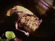 """Thế giới - Video: Rắn anaconda sát thủ siết chết """"chúa tể đầm lầy"""""""
