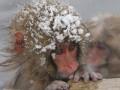 Thế giới - Vì môi trường, sở thú Nhật giết 57 khỉ tuyết