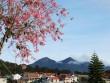 Mai anh đào rực hồng phố núi Đà Lạt