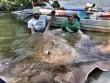 """Bắt được cá đuối """"quái vật"""" dài 2m, nặng 240kg ở Thái Lan"""