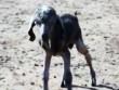 Con vật nửa cừu nửa dê cực hiếm ra đời ở Thổ Nhĩ Kỳ