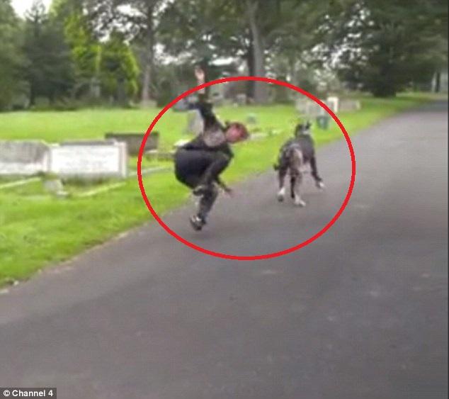 Chó khổng lồ kéo người ngã sấp mặt khi đi dạo - 1