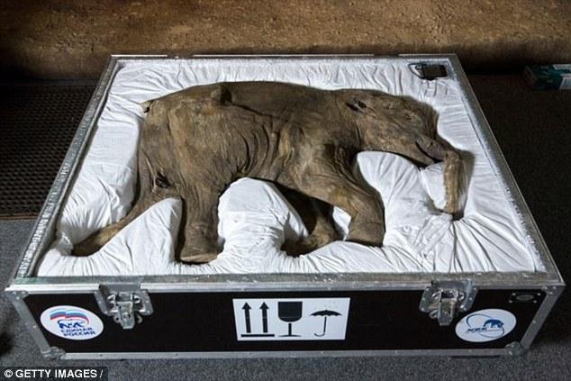 Tiết lộ lý do thực sự khiến loài voi ma mút tuyệt chủng - 3