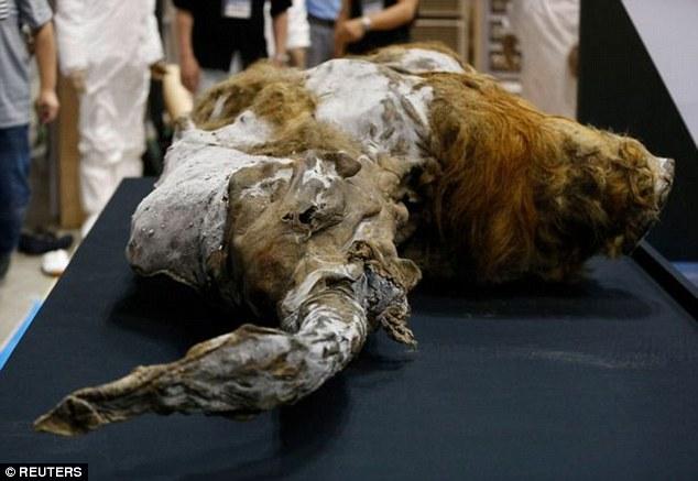Tiết lộ lý do thực sự khiến loài voi ma mút tuyệt chủng - 2
