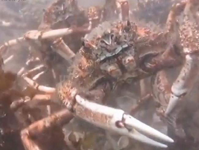 Video: Đội quân cua nhện xé xác bạch tuộc dưới đáy biển - 2