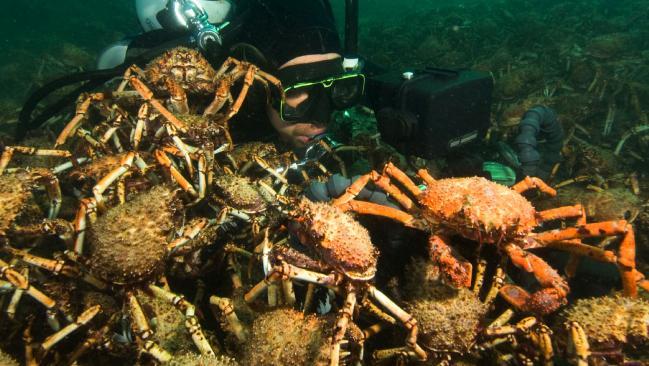 Video: Đội quân cua nhện xé xác bạch tuộc dưới đáy biển - 3