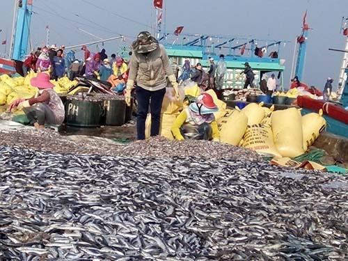Được mùa cá nục, ngư dân không vui - 1
