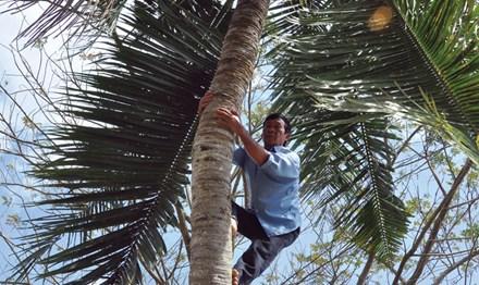 Vắt vẻo mưu sinh trên... ngọn dừa - 1