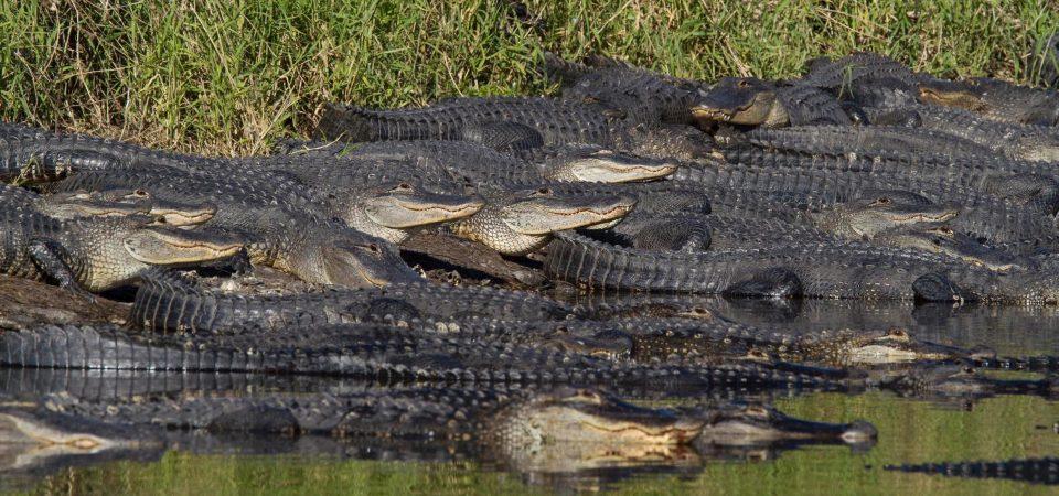 Mỹ: Đàn cá sấu đông chưa từng thấy ken đặc bên hố nước - 3