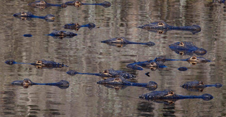 Mỹ: Đàn cá sấu đông chưa từng thấy ken đặc bên hố nước - 2