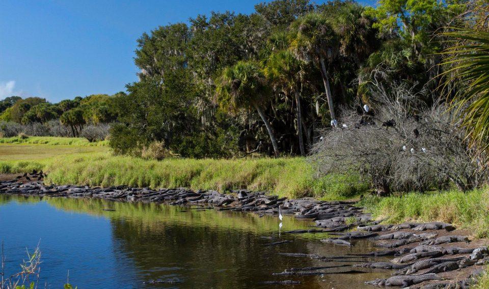Mỹ: Đàn cá sấu đông chưa từng thấy ken đặc bên hố nước - 1