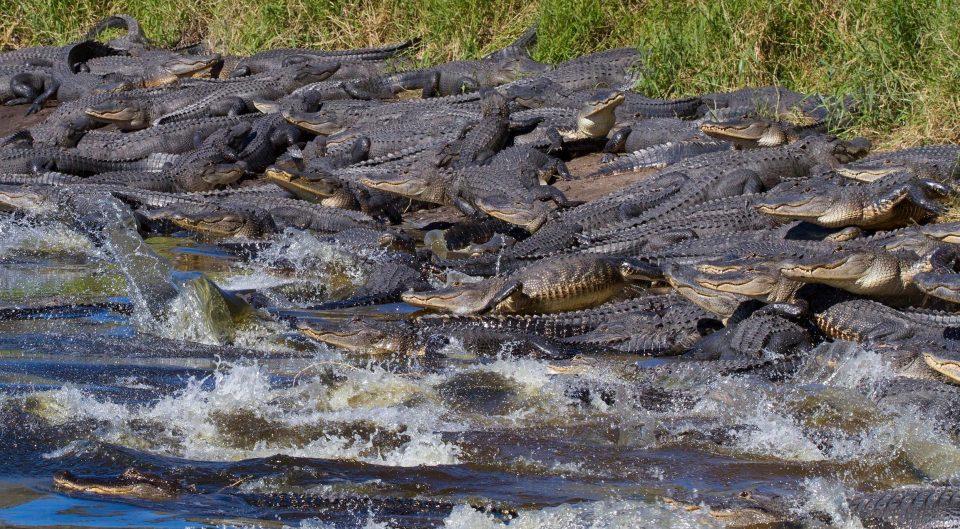 Mỹ: Đàn cá sấu đông chưa từng thấy ken đặc bên hố nước - 4