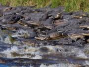 Thế giới - Mỹ: Đàn cá sấu đông chưa từng thấy ken đặc bên hố nước