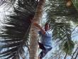 Vắt vẻo mưu sinh trên... ngọn dừa