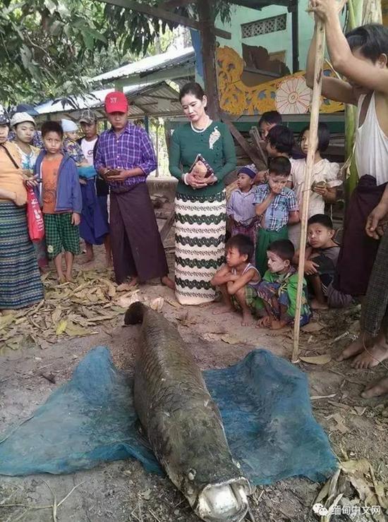 Bắt được cá Amazon khổng lồ giá 3,3 tỷ đồng ở Myanmar - 2