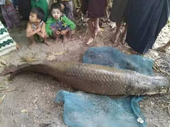 Bắt được cá Amazon khổng lồ giá 3,3 tỷ đồng ở Myanmar - 1