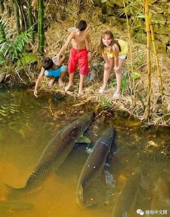 Bắt được cá Amazon khổng lồ giá 3,3 tỷ đồng ở Myanmar - 4