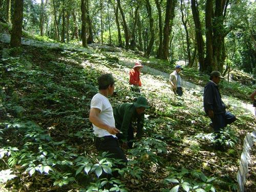 Bắt khẩn bảo vệ rừng vụ trộm hơn 500 gốc sâm quý - 1