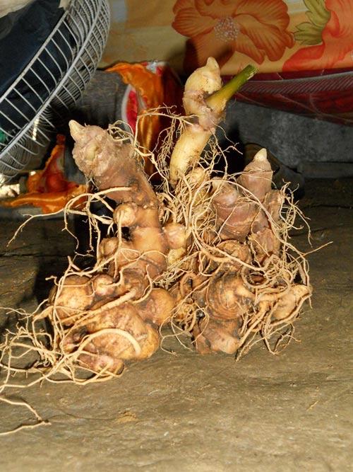 Bắt khẩn bảo vệ rừng vụ trộm hơn 500 gốc sâm quý - 2