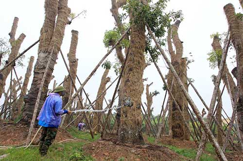"""HN: """"Cụ cây"""" Kim Mã đâm chồi, ra tán sau 4 tháng di dời - 1"""
