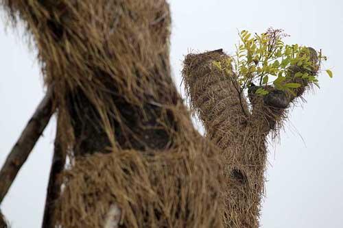 """HN: """"Cụ cây"""" Kim Mã đâm chồi, ra tán sau 4 tháng di dời - 4"""